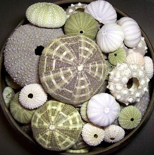 Decorating With Sea Urchins: 27 Cool Ideas | DigsDigs | Sea shells .